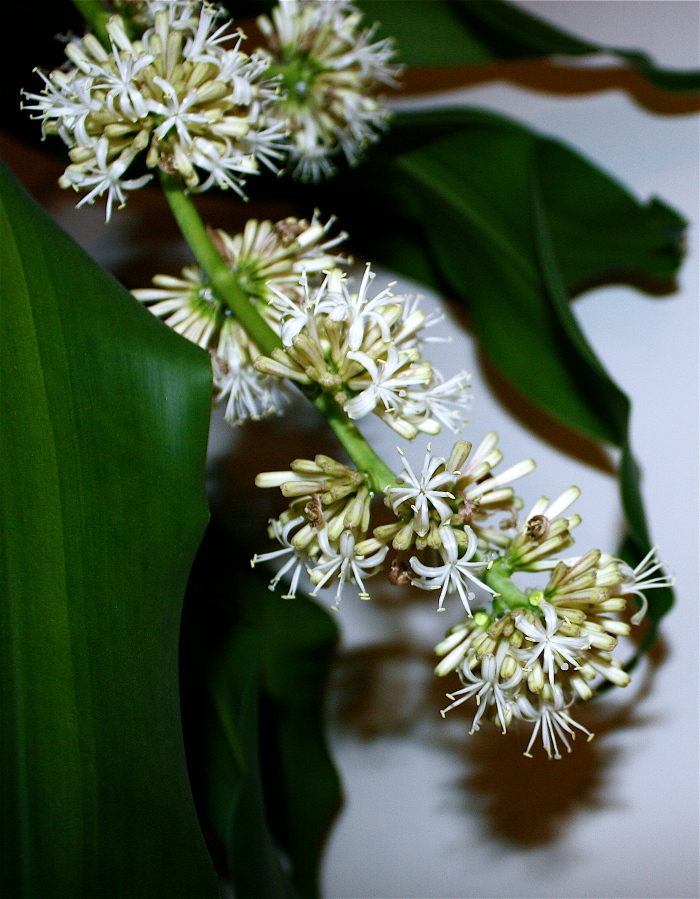 corn plant dracaena fragrans pedagogy of the plants. Black Bedroom Furniture Sets. Home Design Ideas