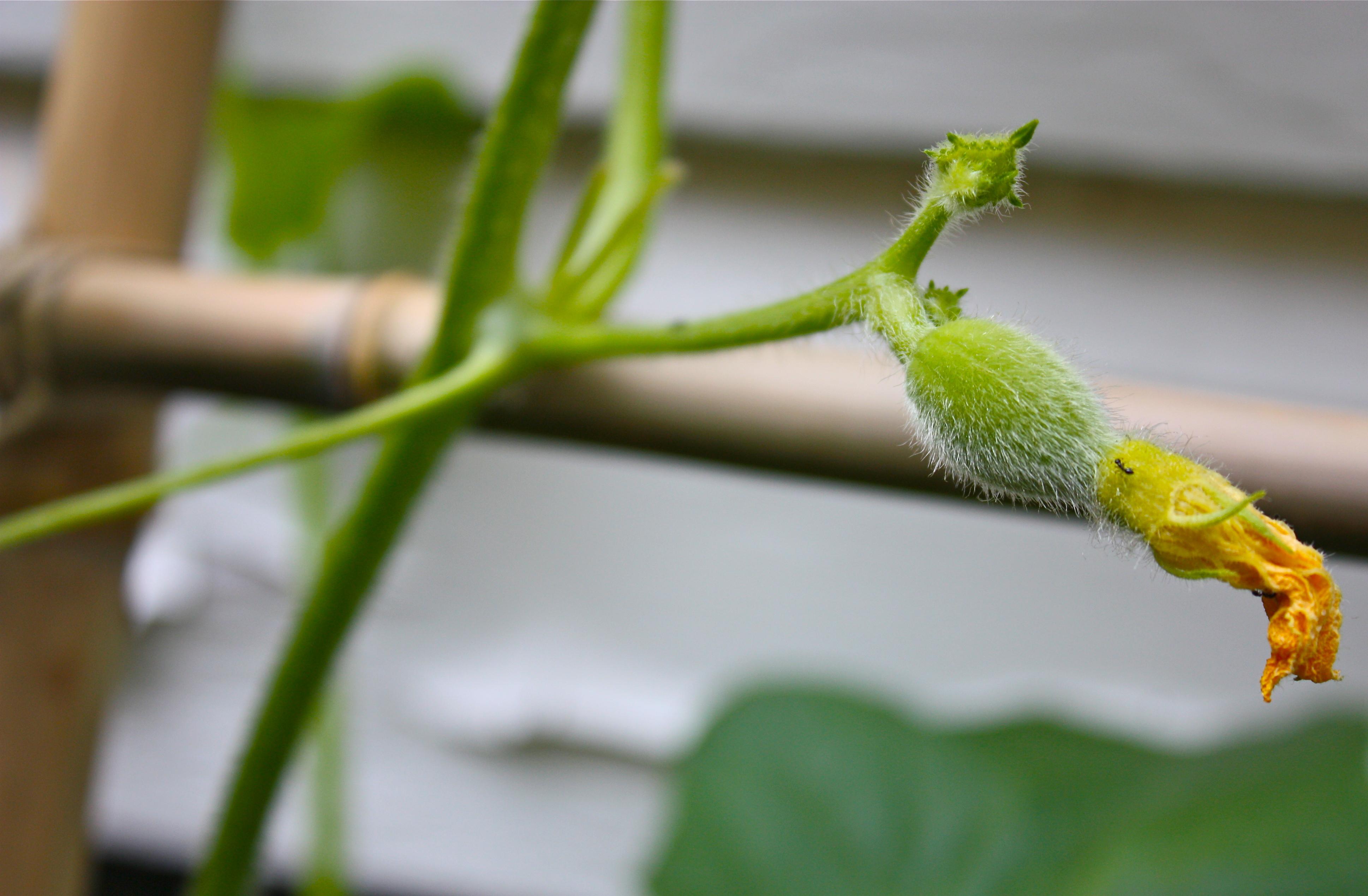 honeydew flower wwwpixsharkcom images galleries with