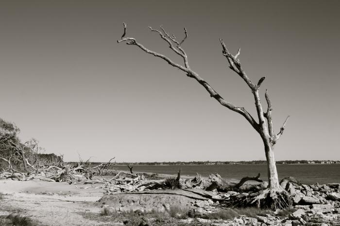Jekyll Island Tree 2