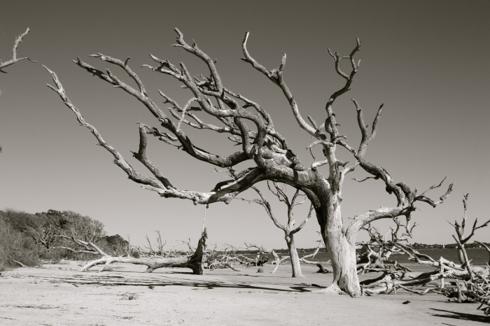 Jekyll Island Tree 3