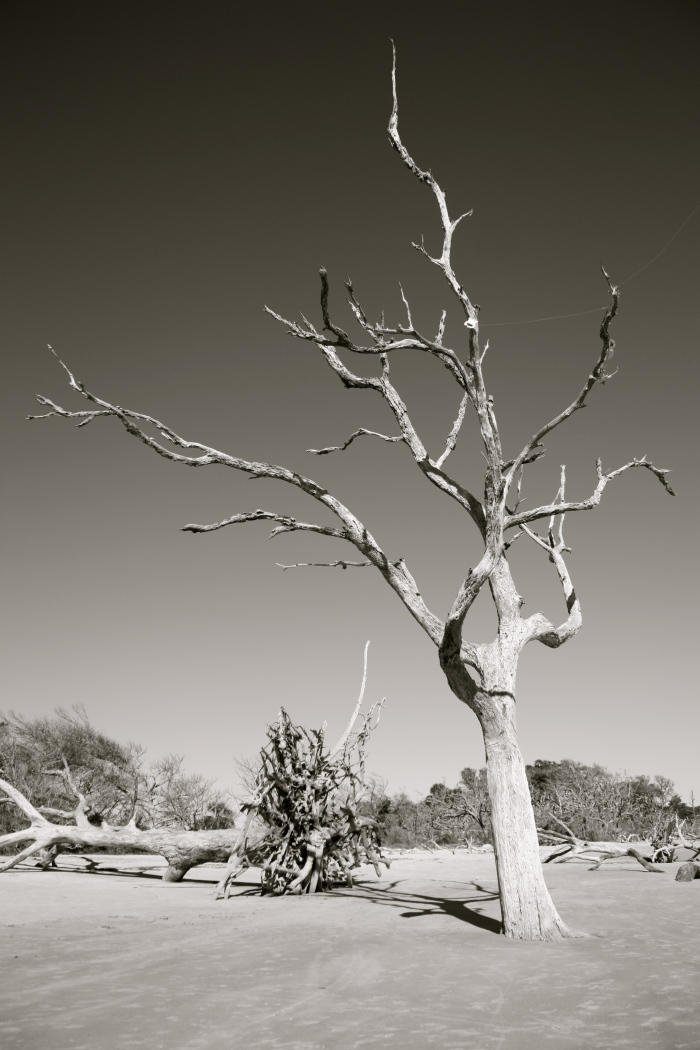 Jekyll Island Tree 1