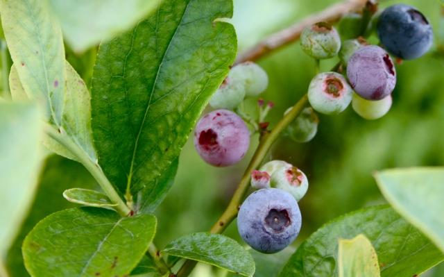 Boulevard Blueberries