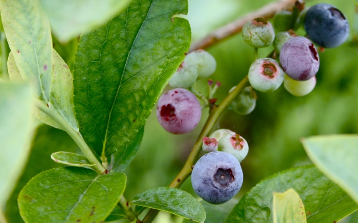 Boulevard Blueberries