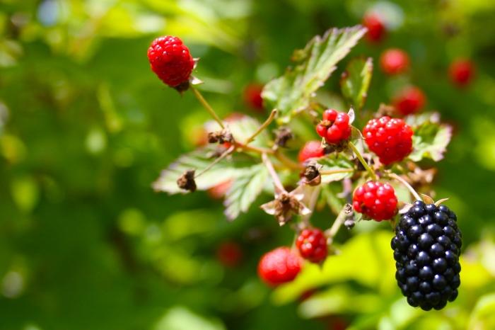 Rubus moluccanus