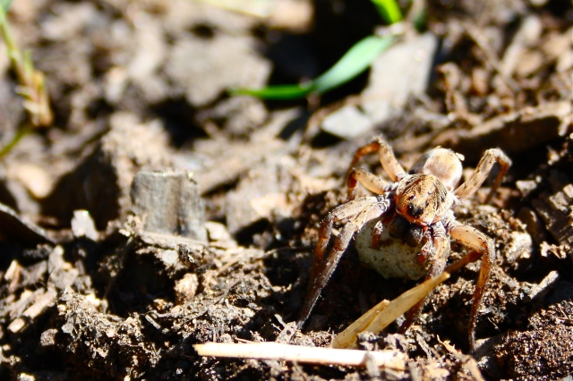 Wolf Spider Protecting Egg Sac