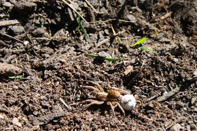 Wolf Spider Dragging Egg Sac