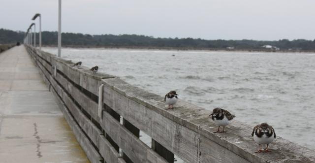 Birds on Fort Clinch Fishing Pier