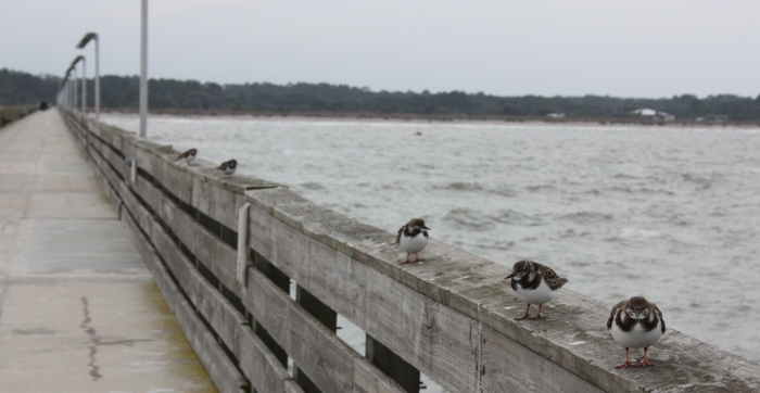 Birds on Fort Clinch Fishing Pier