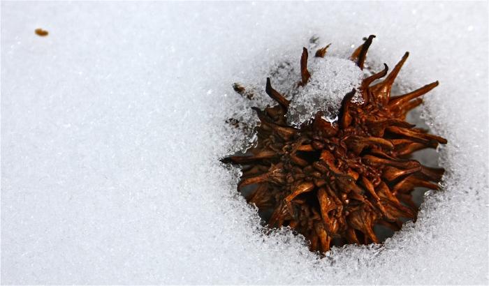 Liquidambar styraciflua in Snow
