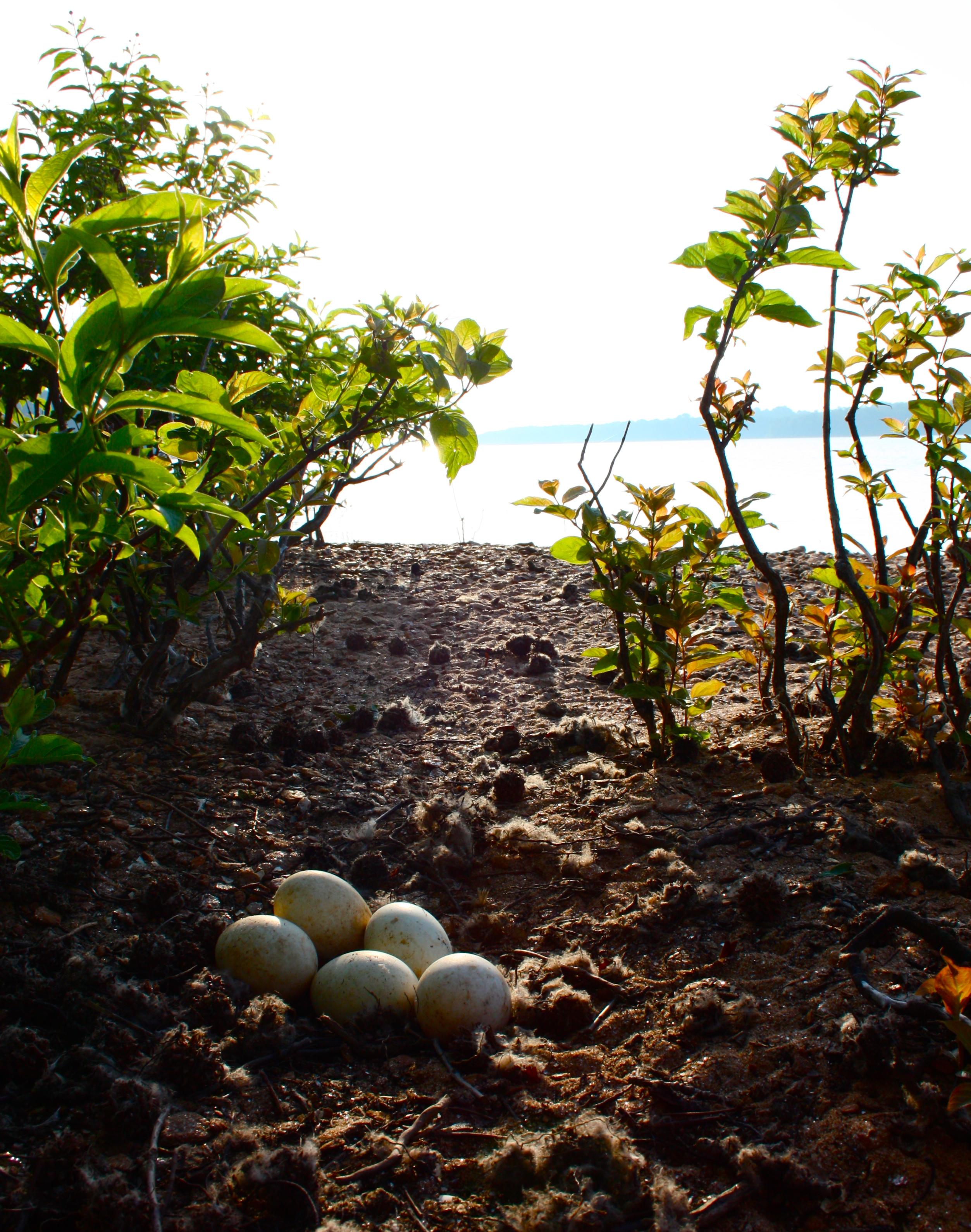 Goose Eggs on Little Island, Lake Hartwell #2