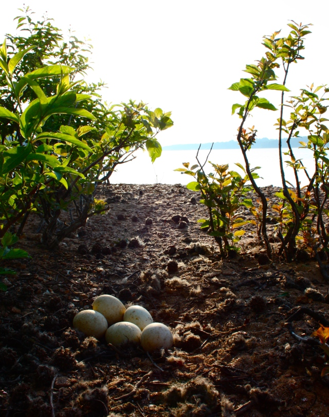 Goose Eggs on Little Island, Lake Hartwell #2