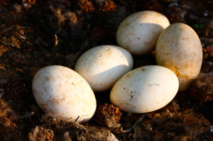 Goose Eggs on Little Island, Lake Hartwell