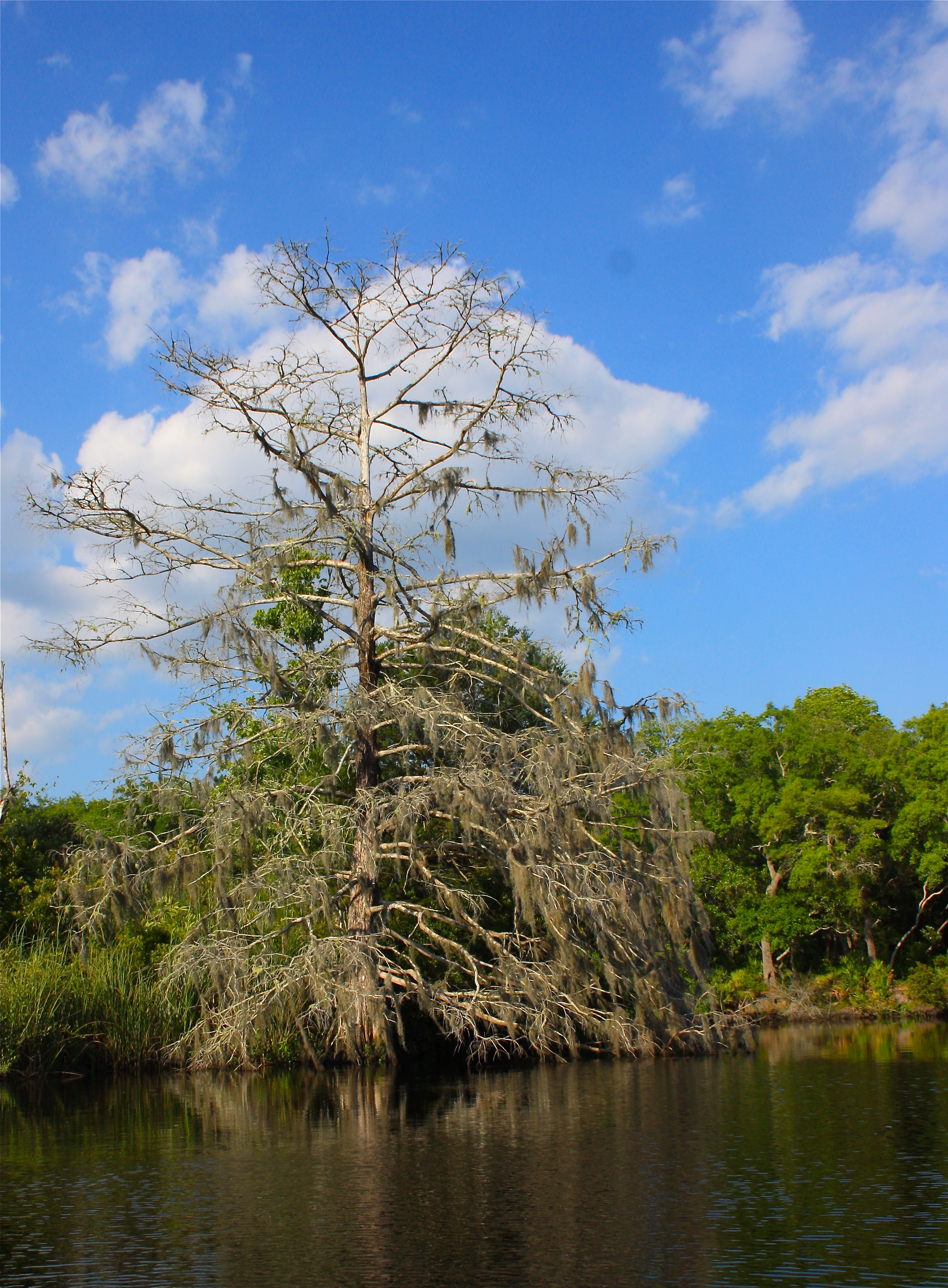 Spanish Moss Covered Cypress