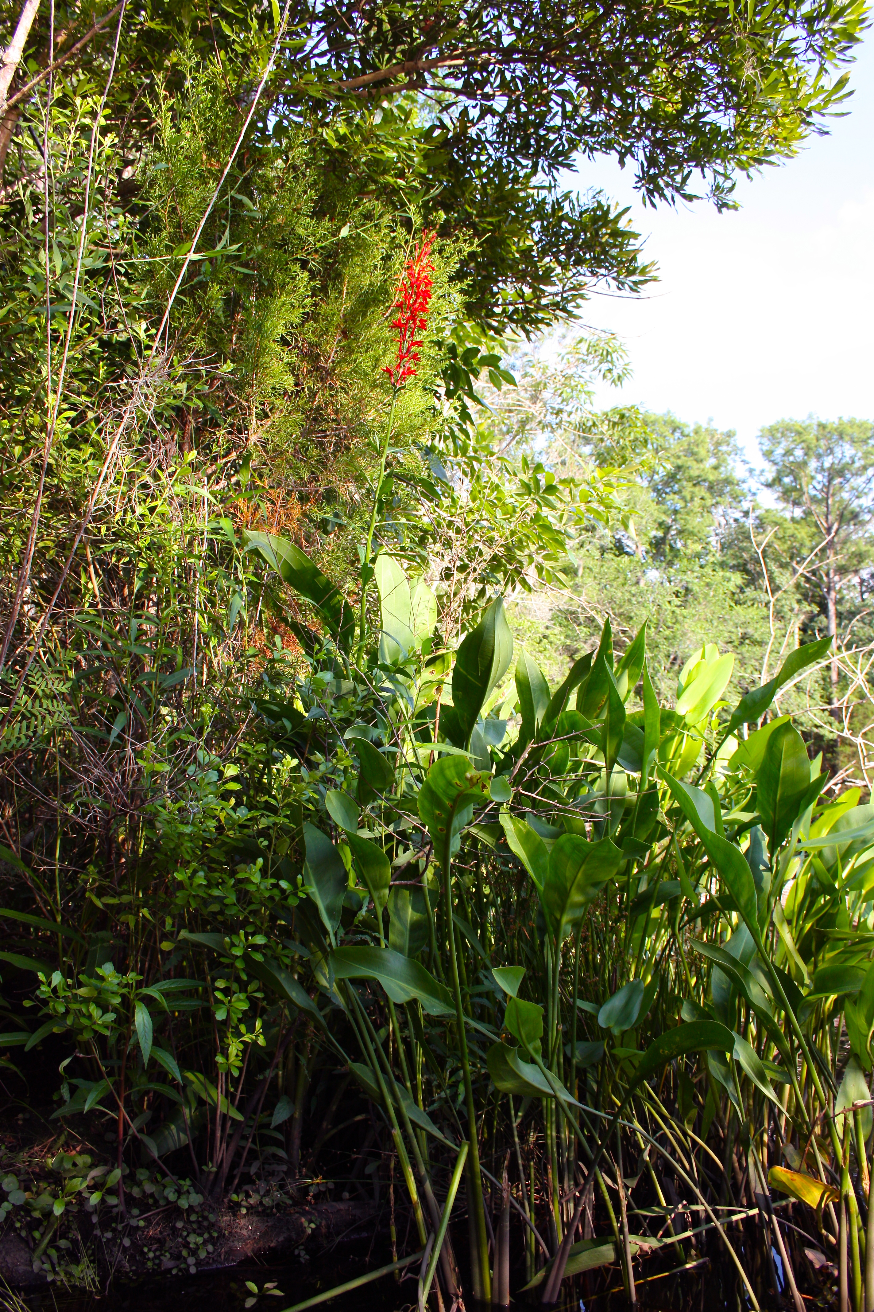 Pickerelweed and Cardinal Flower