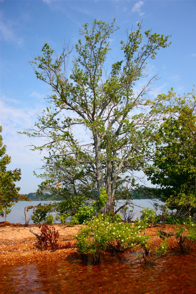 Lake Hartwell Island Cephalanthus occidentalis