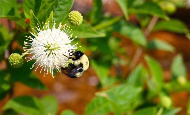 Cephalanthus occidentalis Pollination