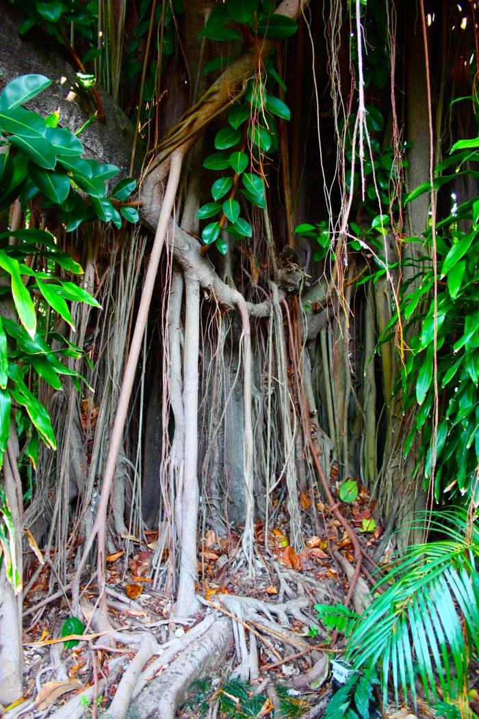 Ficus aurea Jamaica 1