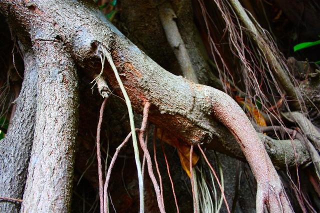 Ficus aurea Jamaica 3