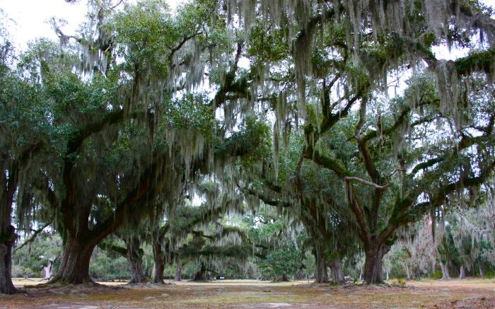 Fontainebleau State Park Live Oaks