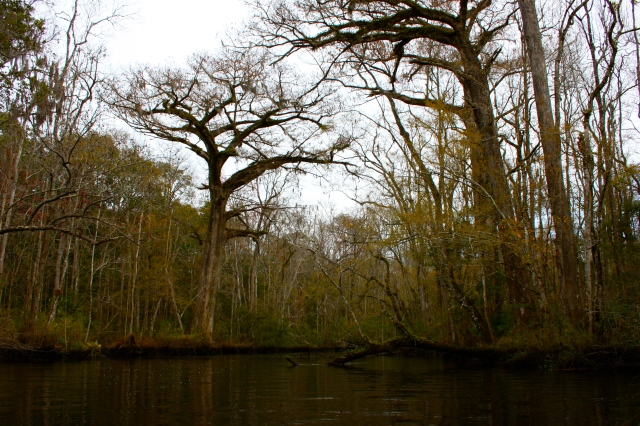 Lofton Creek Cypress Tree