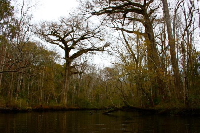 Lofton Creek Cypress Tree
