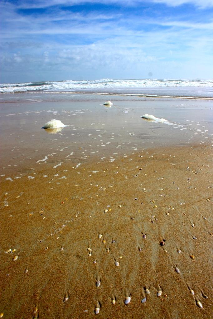 Coquinas, Donax variabilis Ormond Beach